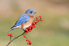 Bluebird on berries (adbecks) Tags: bluebird nj wildlifenj nikon d500 200500 berries bokeh