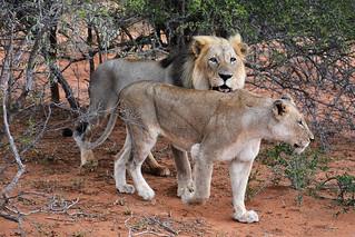 Pas content le lion!! South Africa_4027