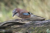 JAY (_jypictures) Tags: animalphotography animals animal canon7d canon canonphotography wildlife wildlifephotography wiltshire nature naturephotography photography pictures birdphotography bird birds birdwatching birding birdingphotography birders jay