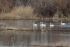 Tundra Swans (jlcummins - Washington State) Tags: bird toppenishwildliferefuge tundraswan yakimacounty washingtonstate waterfowl