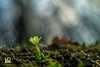 SOLITARIA (Lace1952) Tags: fiori fioriture primule primavera primizie sottobosco sfocato bokek panasonicg microquattroterzi orestonmeyer50mmf1e8 ossola vco piemonte italia