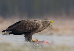 White-tailed eagle - Europese zeearend (fire111) Tags: whitetailed eagle europese zeearend predator bird prey birding wildlife wild poland polen hide