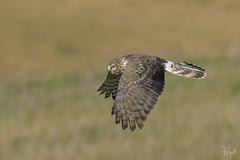 Albanella Reale (Polpi68) Tags: albanella nature nikon falcon falco wildlife wild bird birds birdwatching