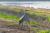 No Closer! (Roy Prasad) Tags: crane bird migration migrating sandhill prasad royprasad lodi california travel water nature sony a7rm3