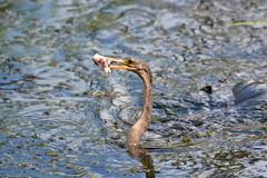 ANHINGA (concep1941) Tags: birds anhingafamily freshwater marshes swamps rivers