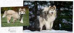 """Mikko growing up (Keshet Rescue) Tags: rescue kennel kennels adoption """"dog adoption"""" ottawa ontario canada keshet large breed dogs animal animals pet pets """"blood bank"""" interactive game video field tree forest wood park dog cold snow alaskan malamute puppy comparison"""