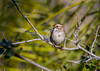 White-throated Sparrow (hyu767) Tags: whitethroatedsparrow sparrows