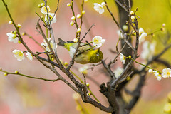 From Flower to Frower (moaan) Tags: kobe hyogo japan jp bird japanesewhiteeye perch ume umeblossom blossoming inblossom umetree dof depthoffield bokeh bokehphotography canoneos7dmarkii ef70200mmf28lisiiusm utata 2018