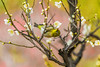 From Flower to Frower (moaan) Tags: kobe hyogo japan jp bird japanesewhiteeye perch ume umeblossom blossoming inblossom umetree dof depthoffield bokeh bokehphotography canoneos7dmarkii ef70200mmf28lisiiusm utata 2018