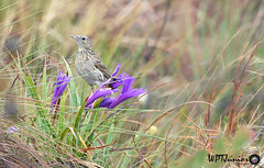 Caminheiro-de-barriga-acanelada (Anthus hellmayri)_9987 FF (Wptjunior) Tags: photograph photo fotografia foto nikon animais aves natureza bird fauna brasil