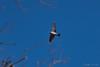 Palombe_2860 (lucbarre) Tags: palombe palombes palombiére landes france estampon losse chasse ramier pigeon oiseau oiseaux bird birds extérieur outside