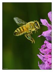 Busy bee at flowers (Graham Pym) Tags: flying wings nectar pollen flora petals pink hovering nikon flight hover insect