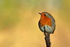 Robin on new perch (david.england18) Tags: robinredbreast robin territory localpark queensparkheywood canon7dmkll canonef300mmf4lisusm birdsuk