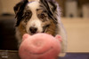 Jasper sets his trap with a pink piggy and waits...waits... (Jasper's Human) Tags: aussie australianshepherd dog pinkpiggy bait trap toy zippypaws