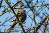 Morning song (KevPBur) Tags: berkshire canon70200mmf28lisiiusm canon80d canonextenderef2xiii dunnock prunellamodularis rowneyslake woolhampton early firstlight morning singing songbird