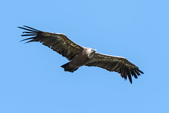 Griffon Vulture  -  Gänsegeier (CJH Natural) Tags: griffonvulture gänsegeier vulture bif birdinflight scavenger bluesky bird vogel avian flying fly nature wildlife soar naturephotography wildlifephotography mature wingspan monster warrior france griffon soaring