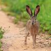 Wild Rabbit (Dave 5533) Tags: rabbit animal mammal wildlifeinisrael wildlife wildlifephotography naturephotography outdoor canoneos1dx canonef300mmf28 animalplanet damn5 damn10 coth5 sunrays5