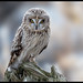 The Look. (Pius Sullivan) Tags: raptor perch