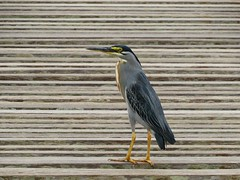 Socó (Butorides striatus) (juciarapferreira) Tags: socó butorides striatus butoridesstriatus parquedasnaçõesindígenasms pássaros soozinho socóboi