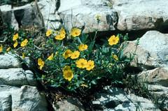 Potentilla gracilis - Rosaceae (Kerry D Woods) Tags: potentilla gracilis rosaceae