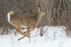 White tailed doe (bearbear leggo) Tags: deer doe white tailed wildlife