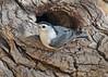 White-breasted Nuthatch (Sitta carolinensis) (Ron Wolf) Tags: nationalpark pinnaclesnationalpark sittacarolinensis sittidae whitebreastednuthatch bird nature nest nesting wildlife california tree bark