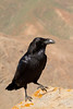 The Ruler of the ravenes (smir_001) Tags: ravens canaryraven corvuscoraxcanariensis corvus corax corvidae elcuervogrande birds black passerinebirds fauna wildlife nature outdoor closeup fuerteventura canarias canaryislands spain canoneos7d winter january betancuria volcanic mountains hills barranco ravines canyon