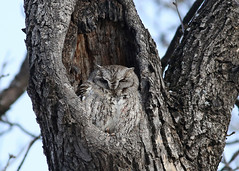 Eastern Screech Owl...#2 (Guy Lichter Photography - 3.7M views Thank you) Tags: owleasternscreetch canon 5d3 canada manitoba winnipeg wildlife animals birds owl owls