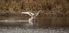 swan ski (Ian Unwin) Tags: swan lake swanlake ski landing