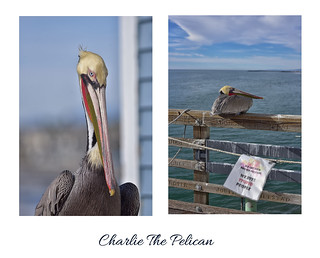 Charlie The Pelican ❤