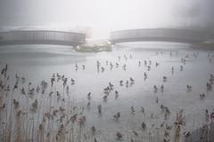 Kaczki w smogochmurze (PanMajster) Tags: kaczki duck ducks winter zima smog cloud chmura mgła water ice park bird birs ptaki bytom silesia śląsk polska poland pentax k3ii sigma 1835