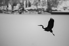Heron in Winter (Philocycler) Tags: foxriver greatblueheron silhouette graceful white winter wings wateringhole flight canon canon5dmarkiii foxrivervalley blackandwhite elgin evening 600mm grace negativespace