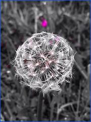 Carmine wish! (mohuski) Tags: carmineeffect nature wish dandelion weed plant