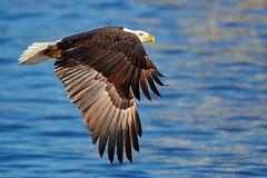 2018.01.27 Eagle outing in LeClaire, Iowa, 0537 (Mike Gatzke) Tags: leclaire iowa unitedstates usa bald eagle haliaeetus leucocephalus mississippi river ld14