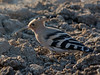 The Late Bird (mishko2007) Tags: hoopoe korea 150500mm