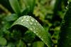 Regentropfen (J.Weyerhäuser) Tags: blatt grashalm regen tropfen regentropfen grün rain raindrops