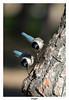 Pies bleues (gilbert.calatayud) Tags: pie bleue cyanopica cyanus azure winged magpie corvidés passériformes parc national de donana andalousie espagne