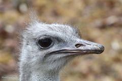 234A3666.jpg (Mark Dumont) Tags: cincinnati zoo mark dumont ostrich