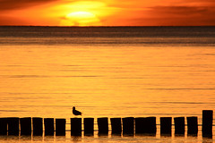 Sunset gull (kalakeli) Tags: sonnenuntergang sunset gegenlicht backlight gulls möwen buhnen ahrenshoop dars mecklenburgvorpommern ostsee balticsea meer sea wasser water
