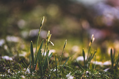 Restart (Stefan Sellmer) Tags: bokeh snowdrops schneeglöckchen winter backyard gras green blumen flowers snow