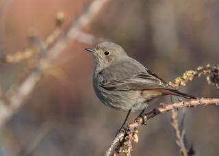 Black Redstart - Phoenicurus ochruros