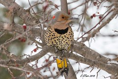 IMG_8491 yellow shafted flicker (starc283) Tags: starc283 wildlife flickr flicker canon canon7d bird birding birds yellowshaftedflicker northernflicker nature naturesfinest naturewatcher outdoors outdoor winter