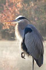 Great blue heron, Ardea herodias (John's Love of Nature) Tags: greatblueheron ardeaherodias johnkelley