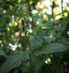 WCP-234.jpg (World Citizen Pix) Tags: forest proxy spider araignée thaïlande thailand web nature chiangmai