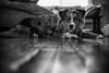 Did You Say Walkies?? (flashfix) Tags: february212018 2018inphotos ottawa ontario canada nikond7100 40mm nikon flashfix flashfixphotography portrait warm naturallighting dog canine animal pet austrailanshepherd triaustrailanshepherd bluemerle tricolour sock heterochromia somuchgrain blackandwhite monochrome