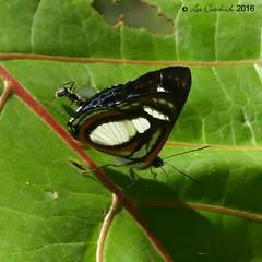 Thisbe irenea (LPJC) Tags: quitacalzones manuroad butterfly manu peru 2016 lpjc thisbeirenea metalmark
