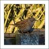 Dunnock, Prunella modularis (prendergasttony) Tags: dunnock prunellamodularis nature avia rspb nikon d7200 outdoors wildlife ƒ90 5000 mm 1800 iso1100