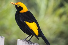 Regent Bowerbird (Geoffsnaps) Tags: regent bowerbird regentbowerbird sericuluschrysocephalus ilovebirds ilovenature feathers birds animals nature beautiful beautyofnature birdsarebeautiful superbbirds nikond810 nikon d810 fx nikonnikkor200500mmf56eedafs nikkor 200500mm f56e e ed afs acratechpanoramichead acratech panoramic head gitzogm5541carbonmonopod gitzo gm5541 carbon monopod oreillyslamingtonnationalparkgreenmountainqueenslandoreillys lamingtonnationalpark greenmountain queensland goldcoast hinterland
