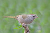 Olive Sparrow (Alan Gutsell) Tags: birds bird wildlife nature wildlifephoto alan southtexasbirds olive sparrow olivesparrow emberizine songbird