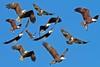 eagles (starc283) Tags: starc283 flickr flicker bird birding birds americanbaldeagle baldeagle baldeagles raptor
